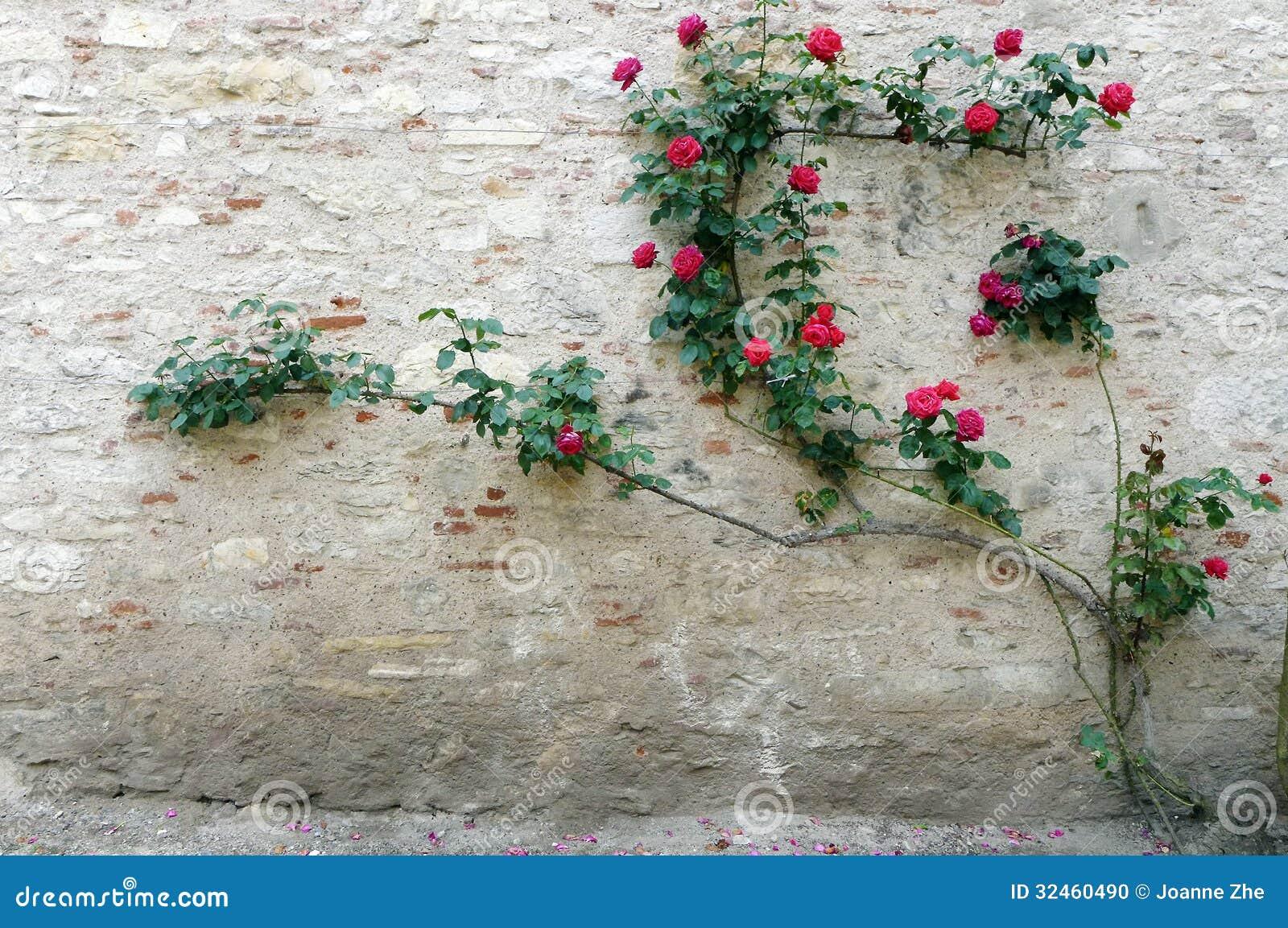 Chateau stone wall rose climber