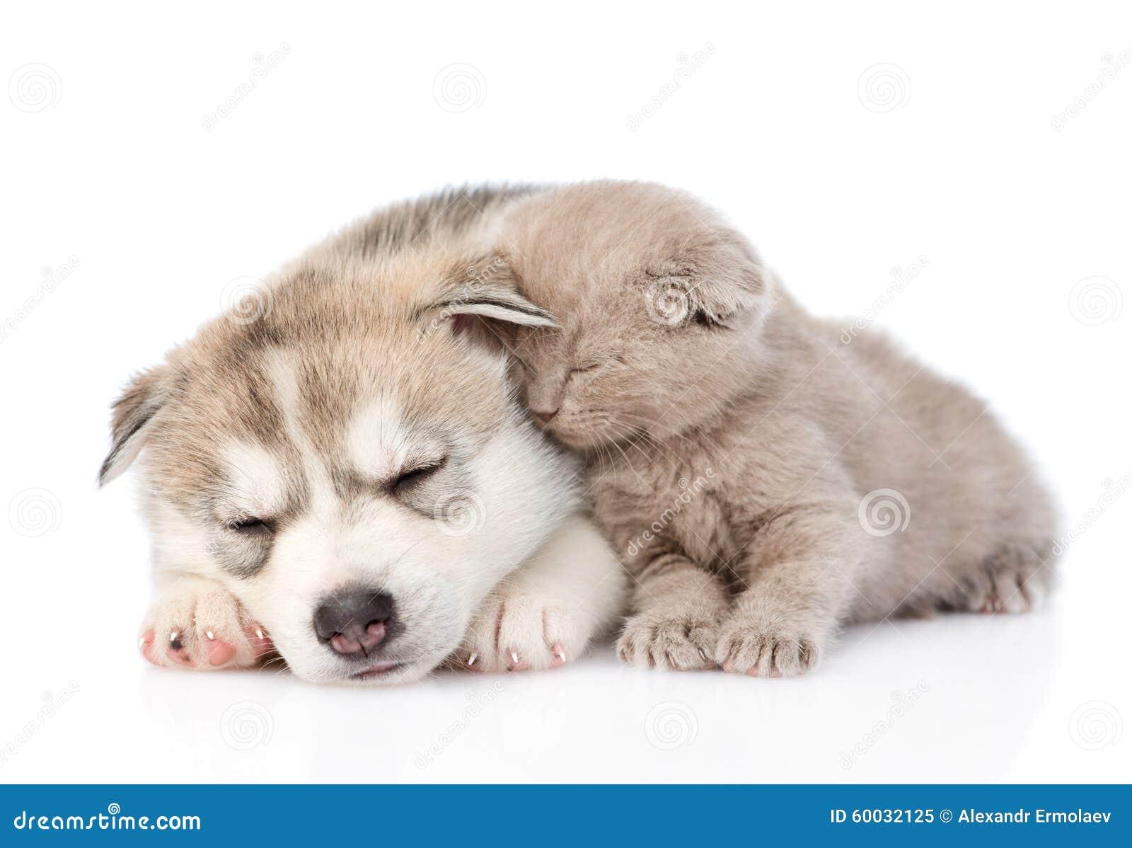 Chaton écossais et chiot de chien de traîneau sibérien dormant ensemble D isolement