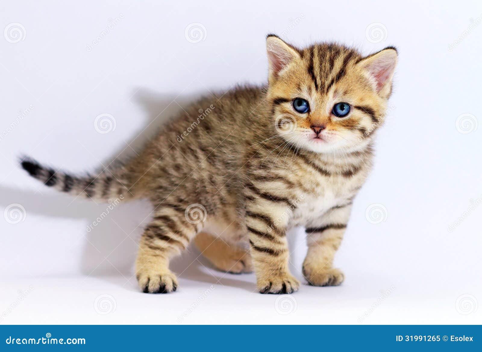 Chaton cossais ray avec des yeux bleus photo libre de droits image 31991265 - Enlever les puces sur un chaton ...