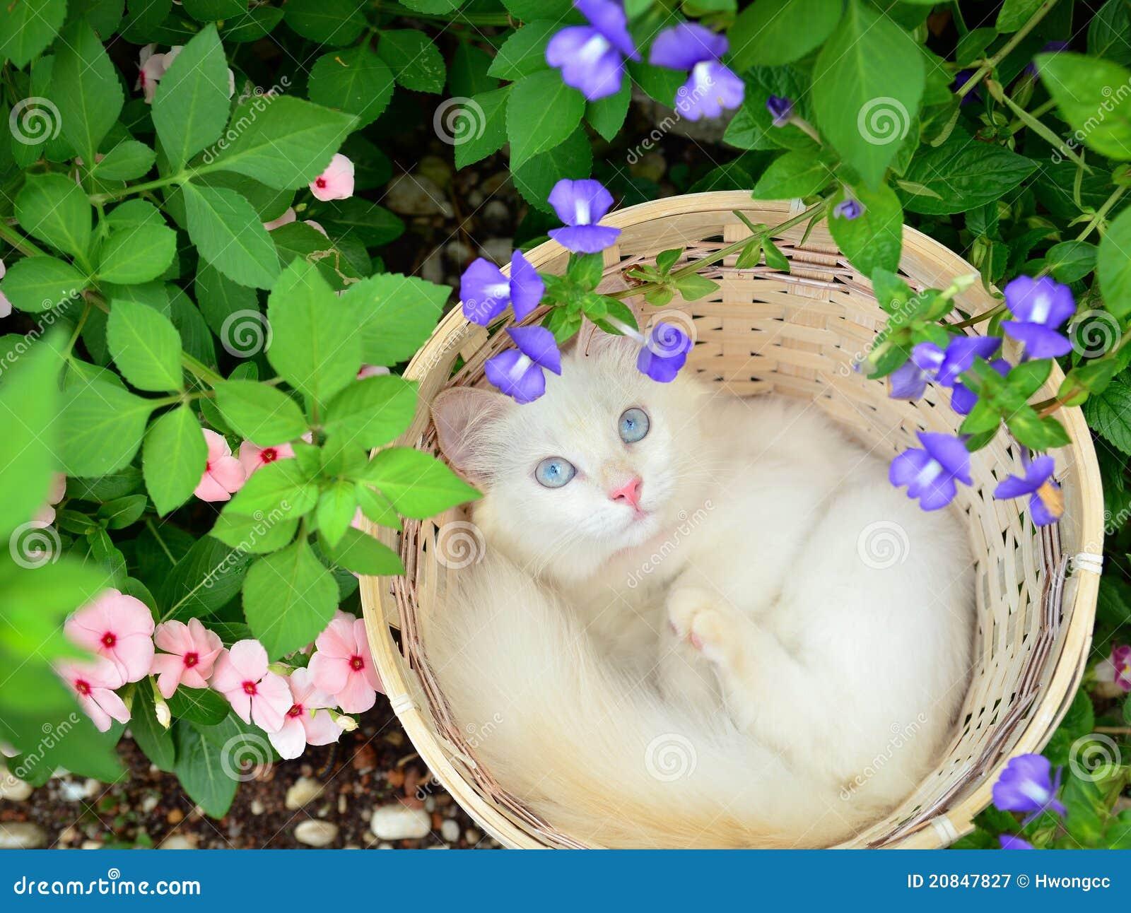 Chaton blanc dans le panier