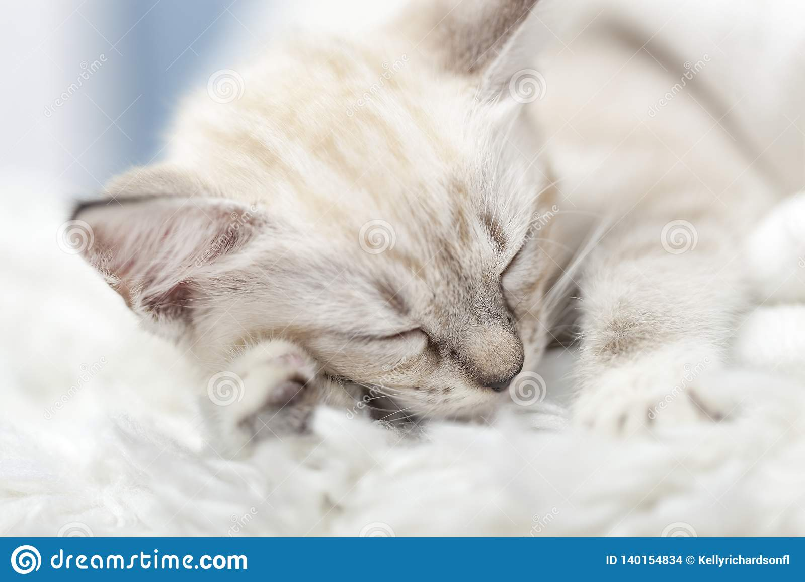 Tapis Long Poil Blanc chaton blanc de sommeil s'étendant à l'intérieur d'une
