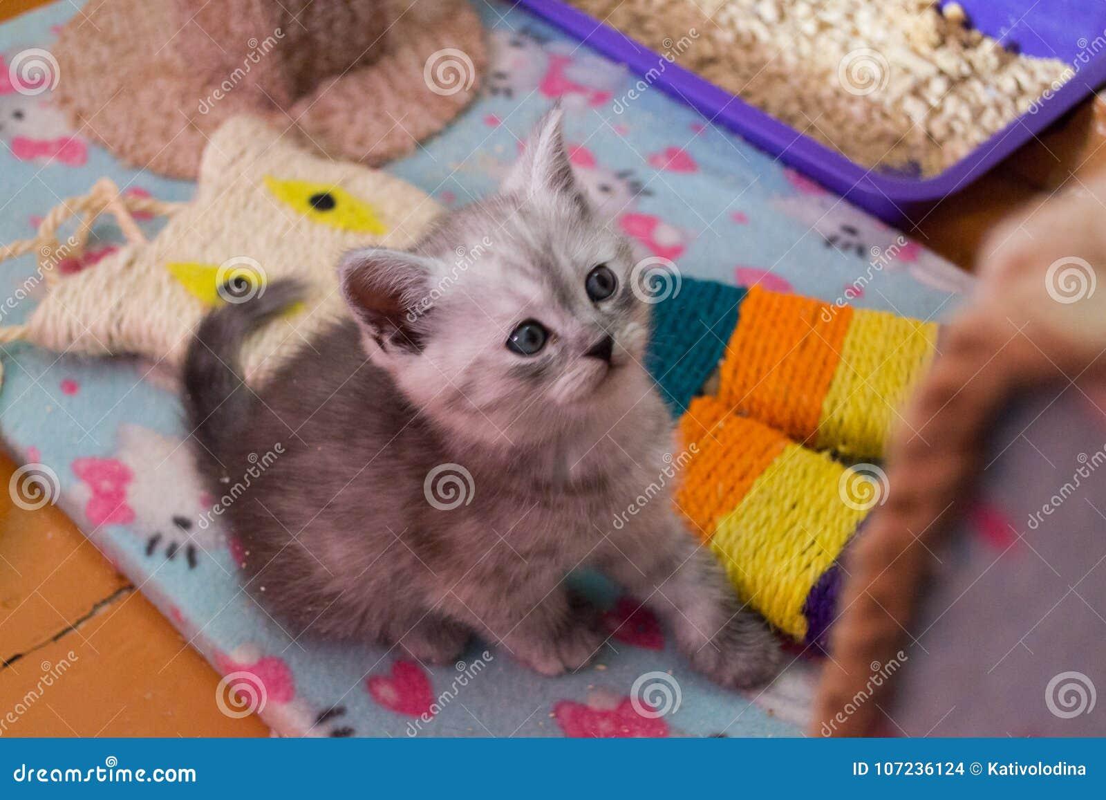 Chaton britannique gris assez blanc se reposant sur la maison de chat et recherchant