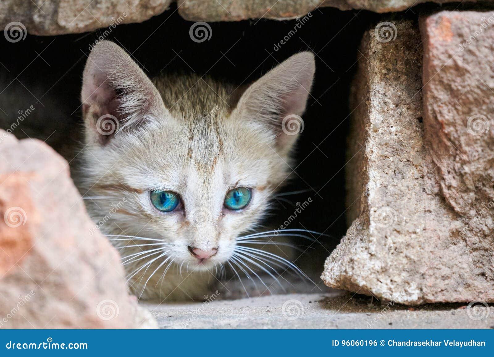 Chaton gris avec les yeux piercing en avant