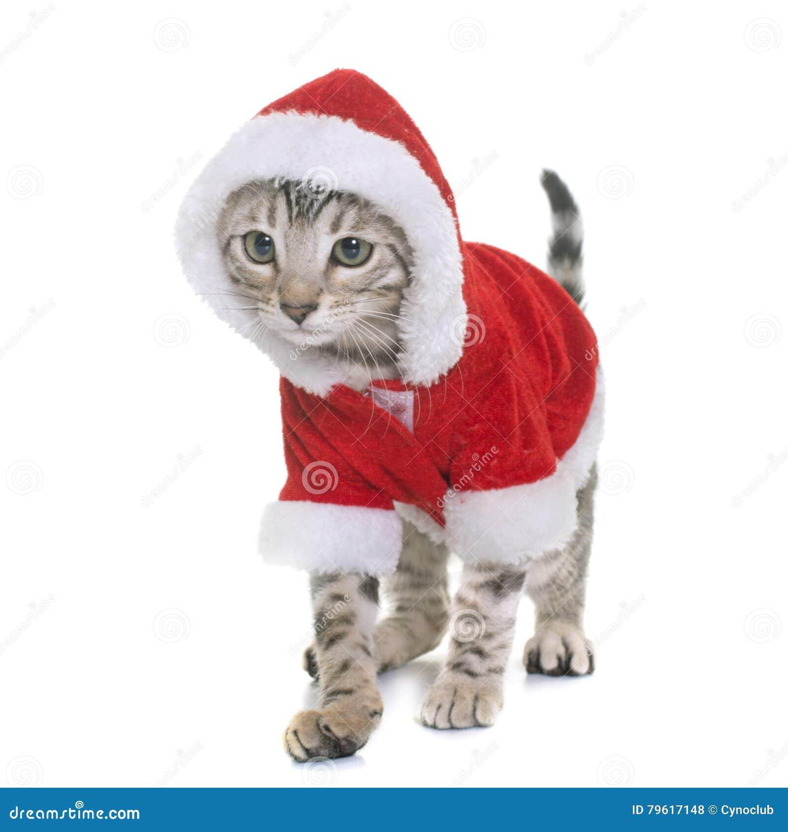 Chaton habill du bengale photo stock image du f lin 79617148 - Image de chat de noel ...