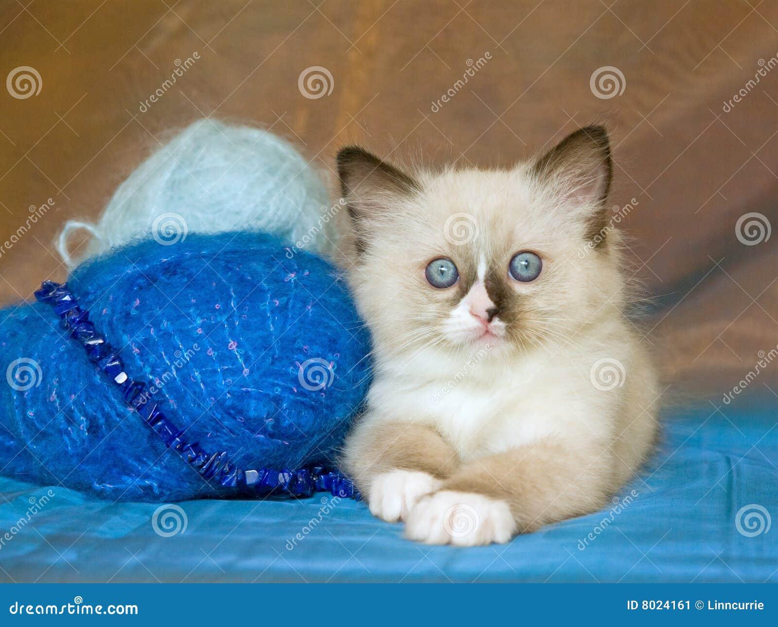 Chaton mignon de Ragdoll avec des laines de filé