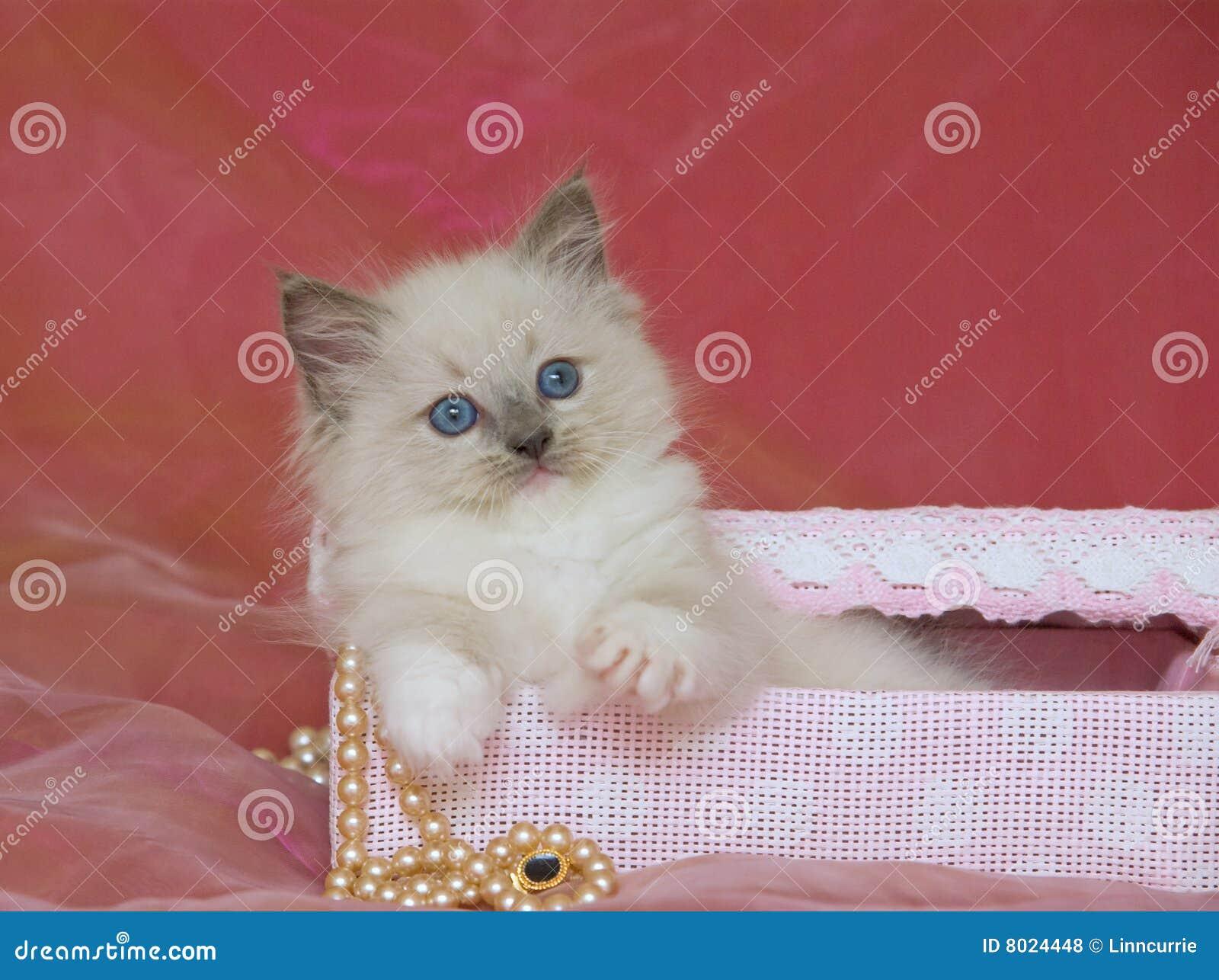 Chaton mignon de Ragdoll dans le cadre de cadeau avec des perles