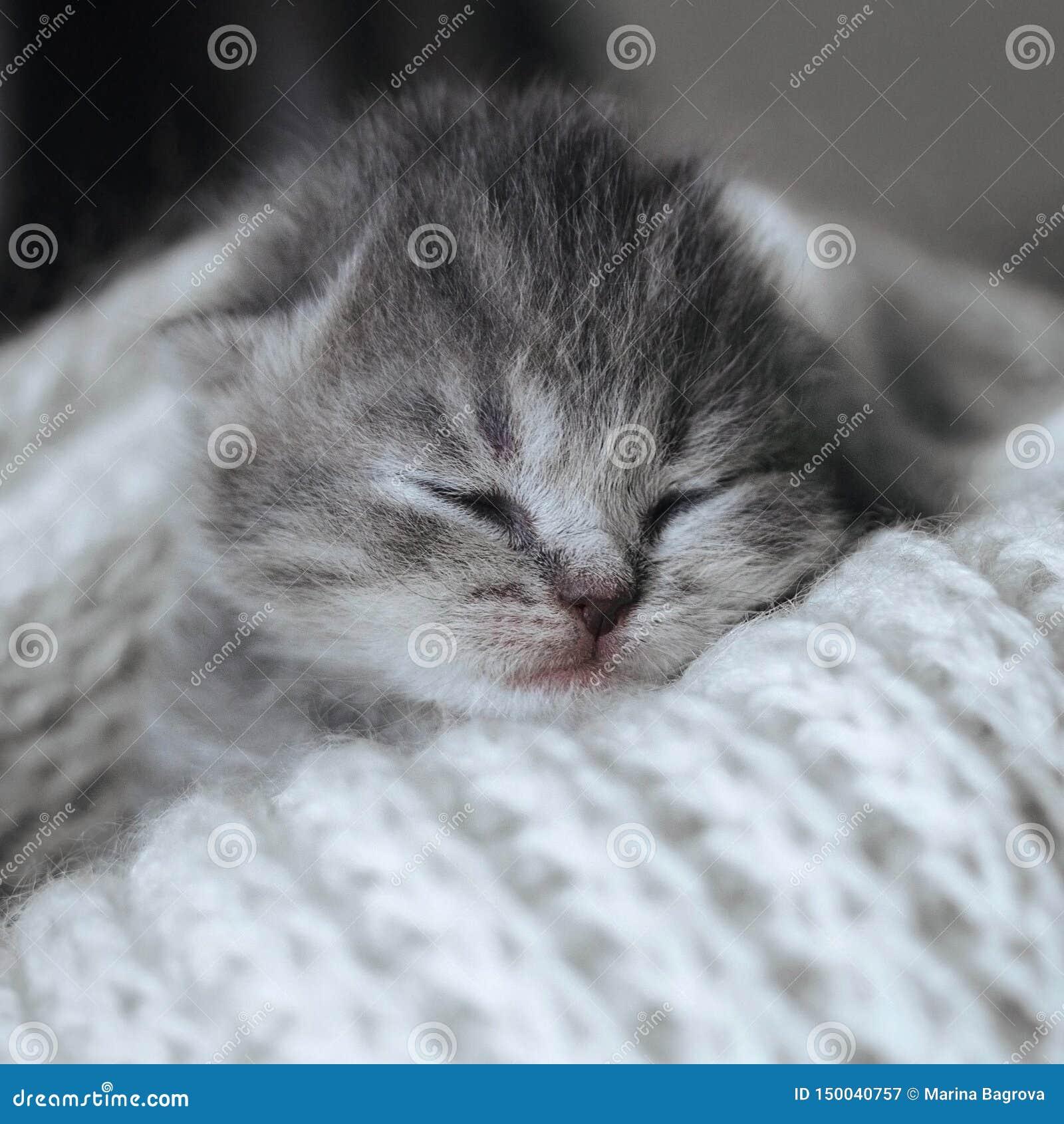 Chaton mignon nouveau-né dormant dans une écharpe chaude de laine, couverture Petit chat de sommeil Repos gris rayé de chaton de