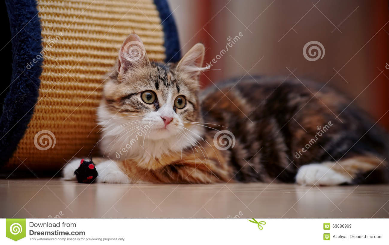 Download Chaton Multicolore Domestique Avec Un Jouet Image stock - Image du nature, pedigreed: 63086999