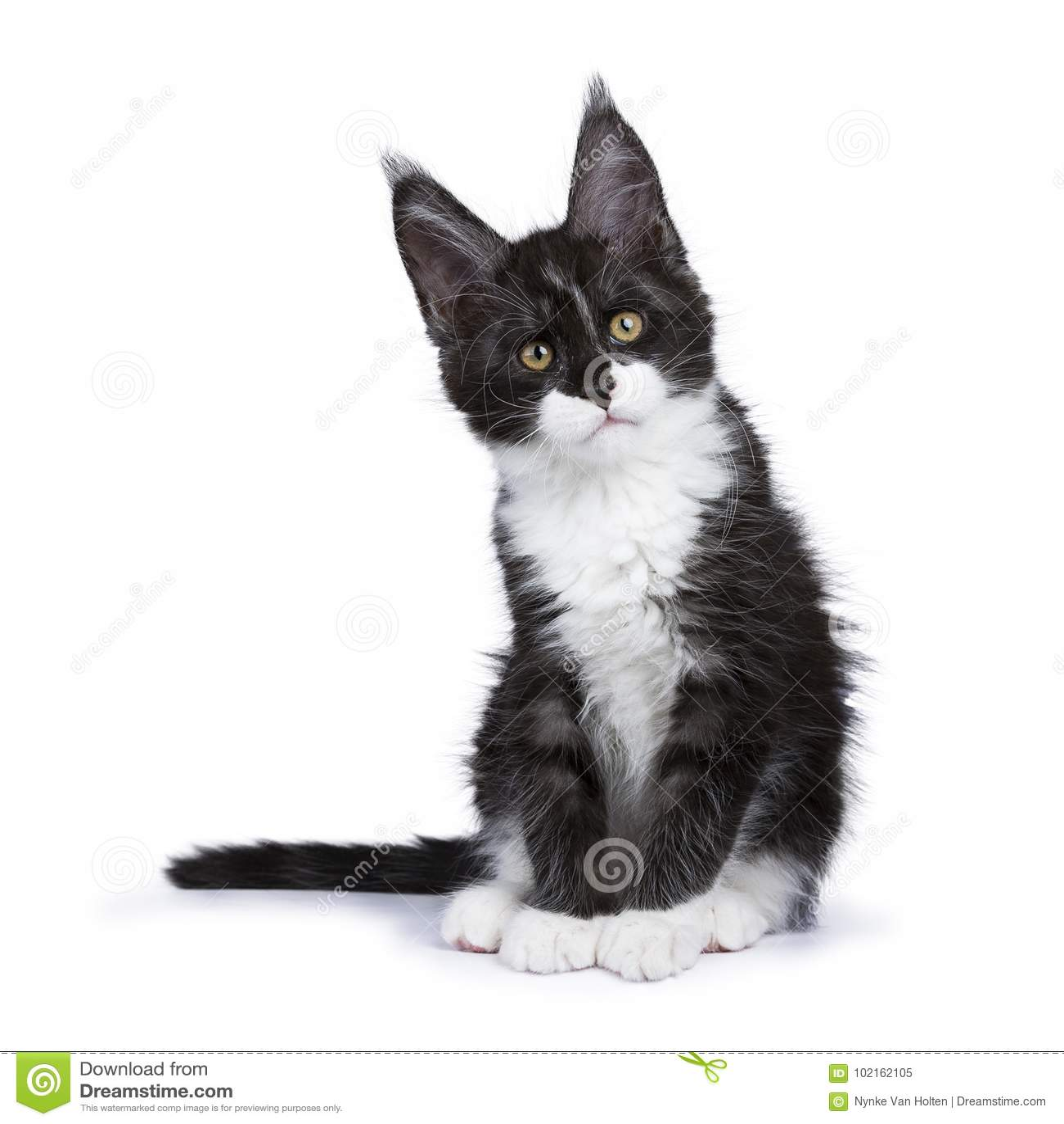 chaton noir de maine coon de fum e se reposant avec le regard principal de titeld au c t d. Black Bedroom Furniture Sets. Home Design Ideas