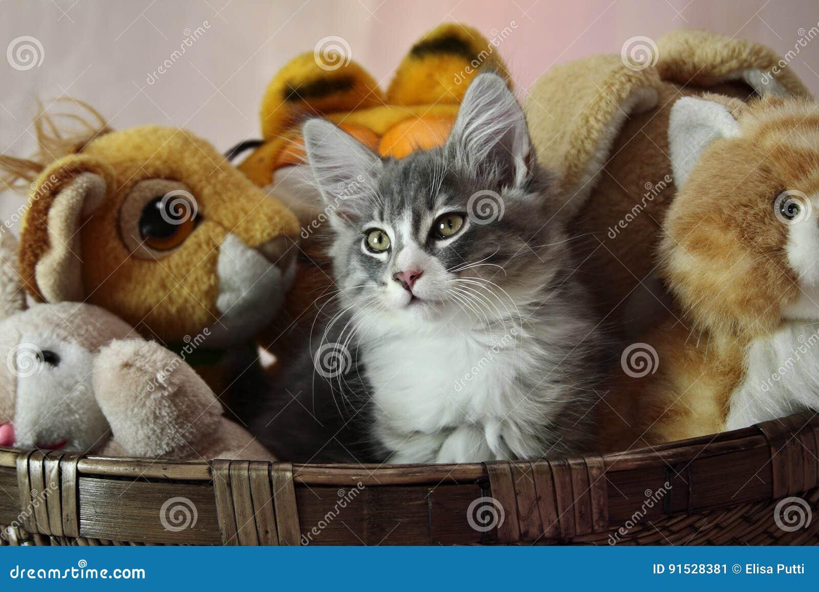 Chaton norvégien de mâle de chat de forêt