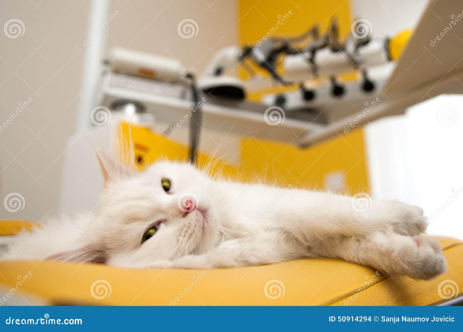 Chaton persan blanc se trouvant sur la chaise dentaire