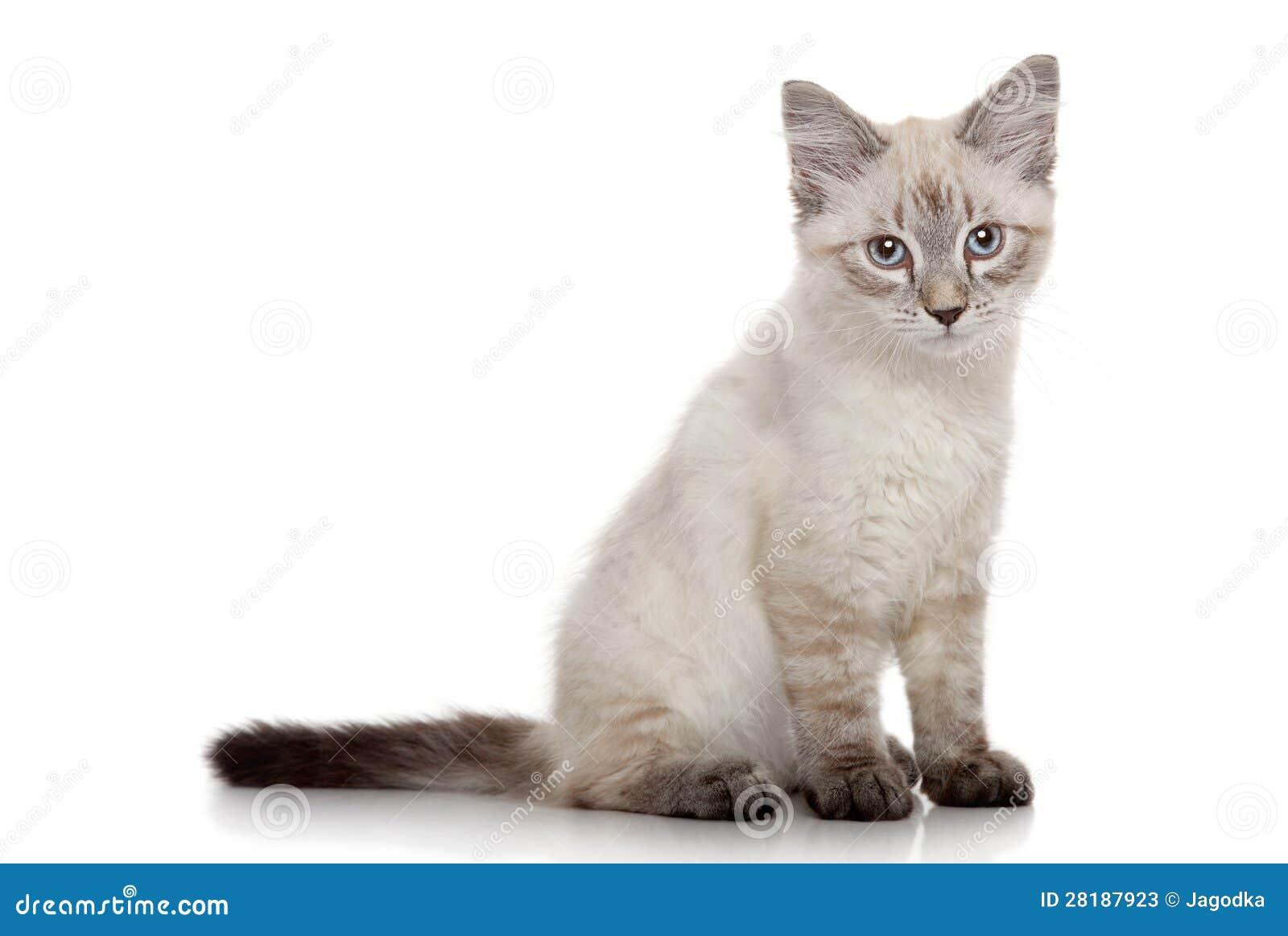 Chaton sib rien sur un fond blanc photos stock image 28187923 - Enlever les puces sur un chaton ...