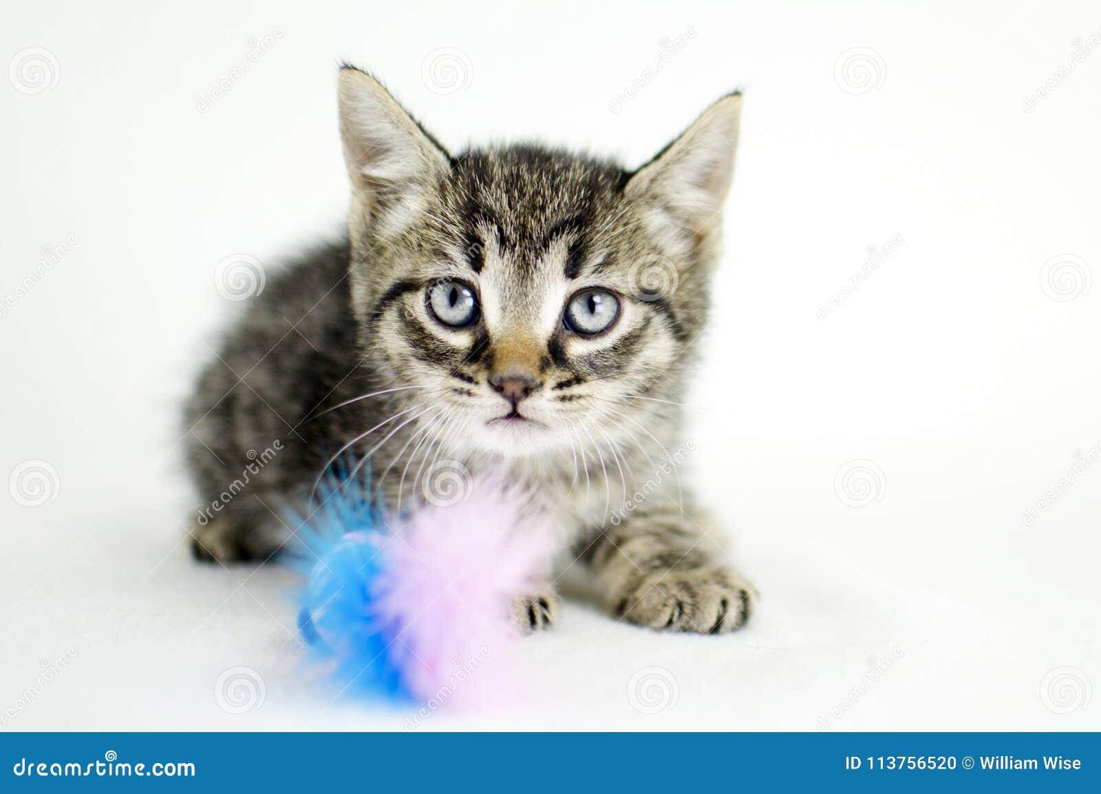 Chaton Tigre Photographie D Adoption De Refuge Pour Animaux Photo Stock Image Du Animaux Photographie 113756520