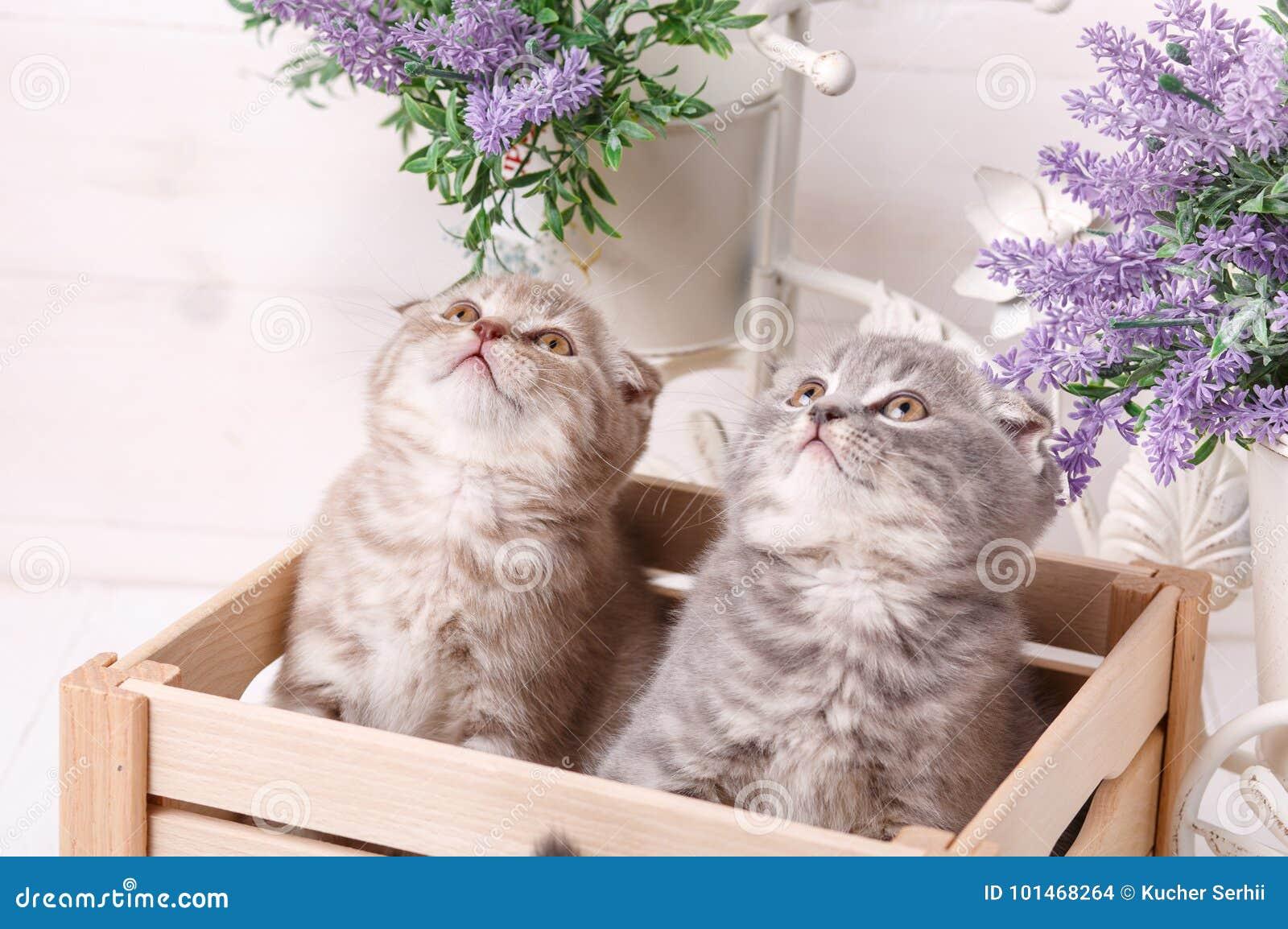 Chatons écossais se reposant dans le tiroir et recherchant