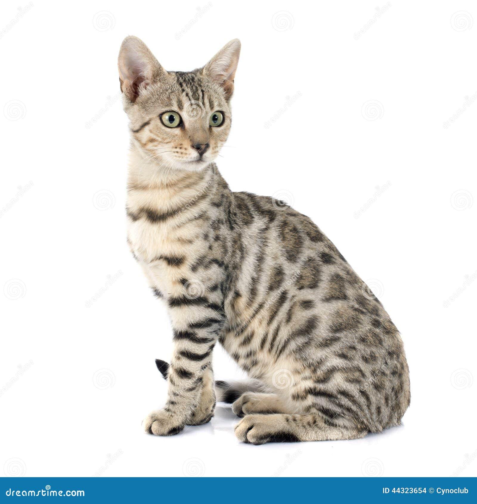 Chats du Bengale , tigres