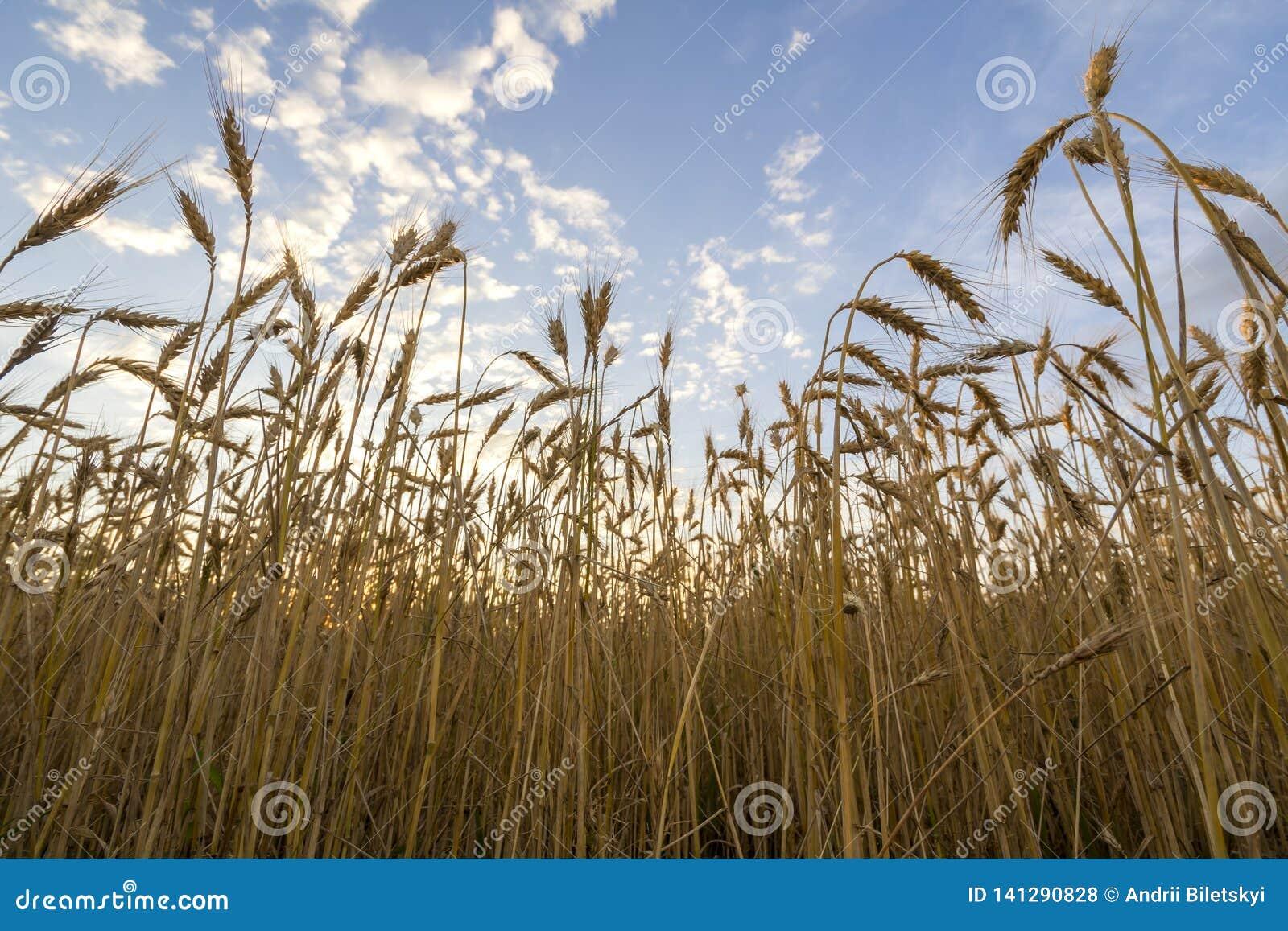 Chauffez mûr d or coloré pour moissonner le champ de blé Agriculture, agriculture et concept riche de récolte