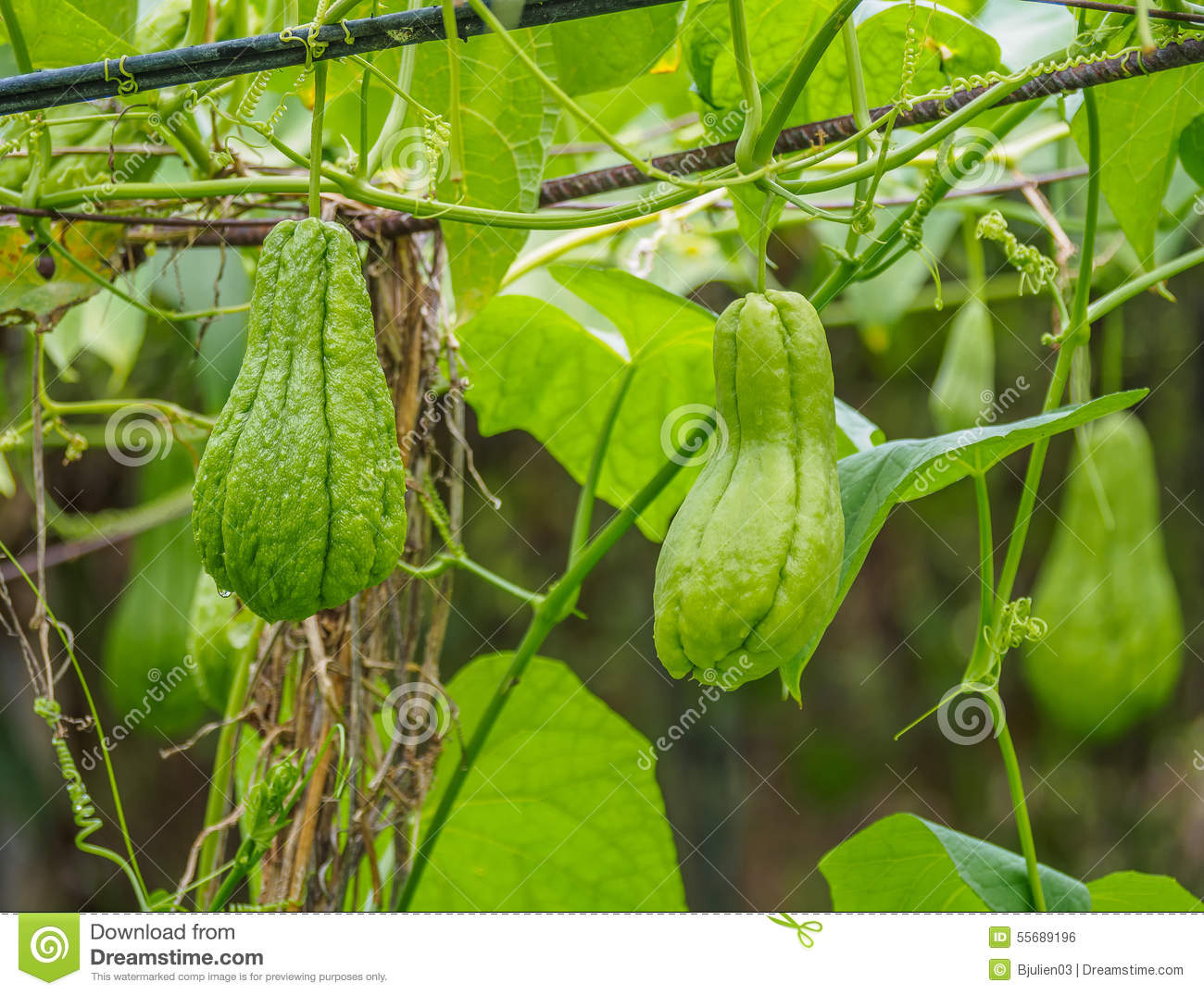 Chayote (chouchou) On A Plant In A Garden Stock Photo ...