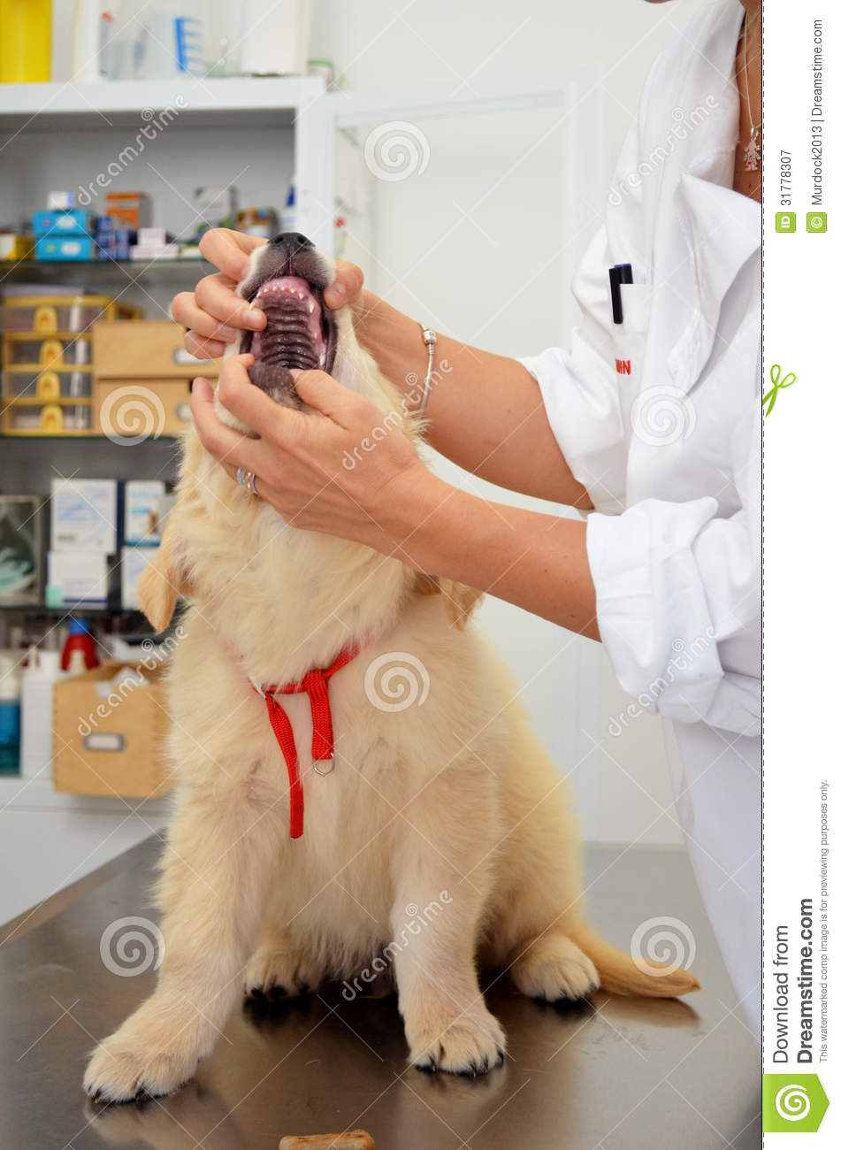 Vet Checking Puppy Dog Royalty Free Stock Photography