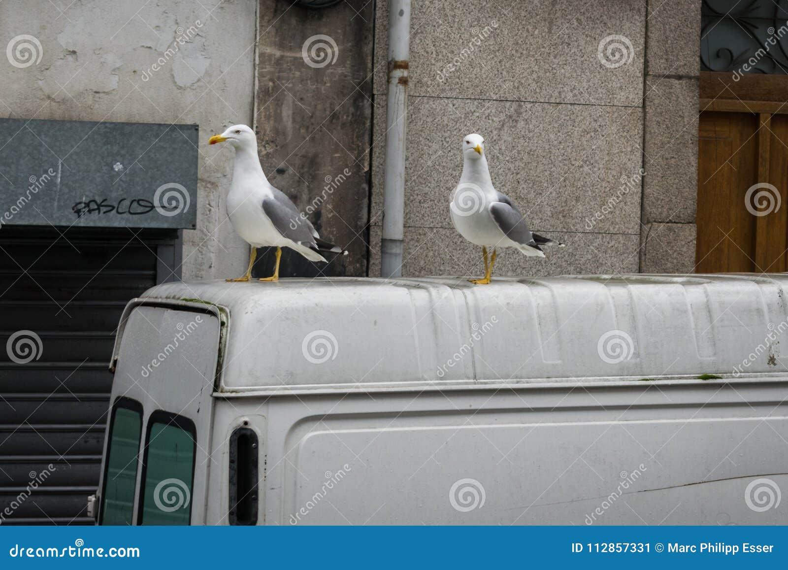Checkyzeemeeuwen bovenop een vervoerder op de straten van Porto,