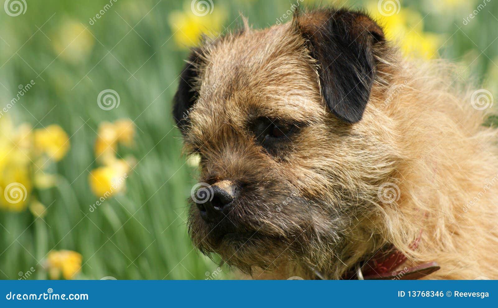 A cheeky border terrier