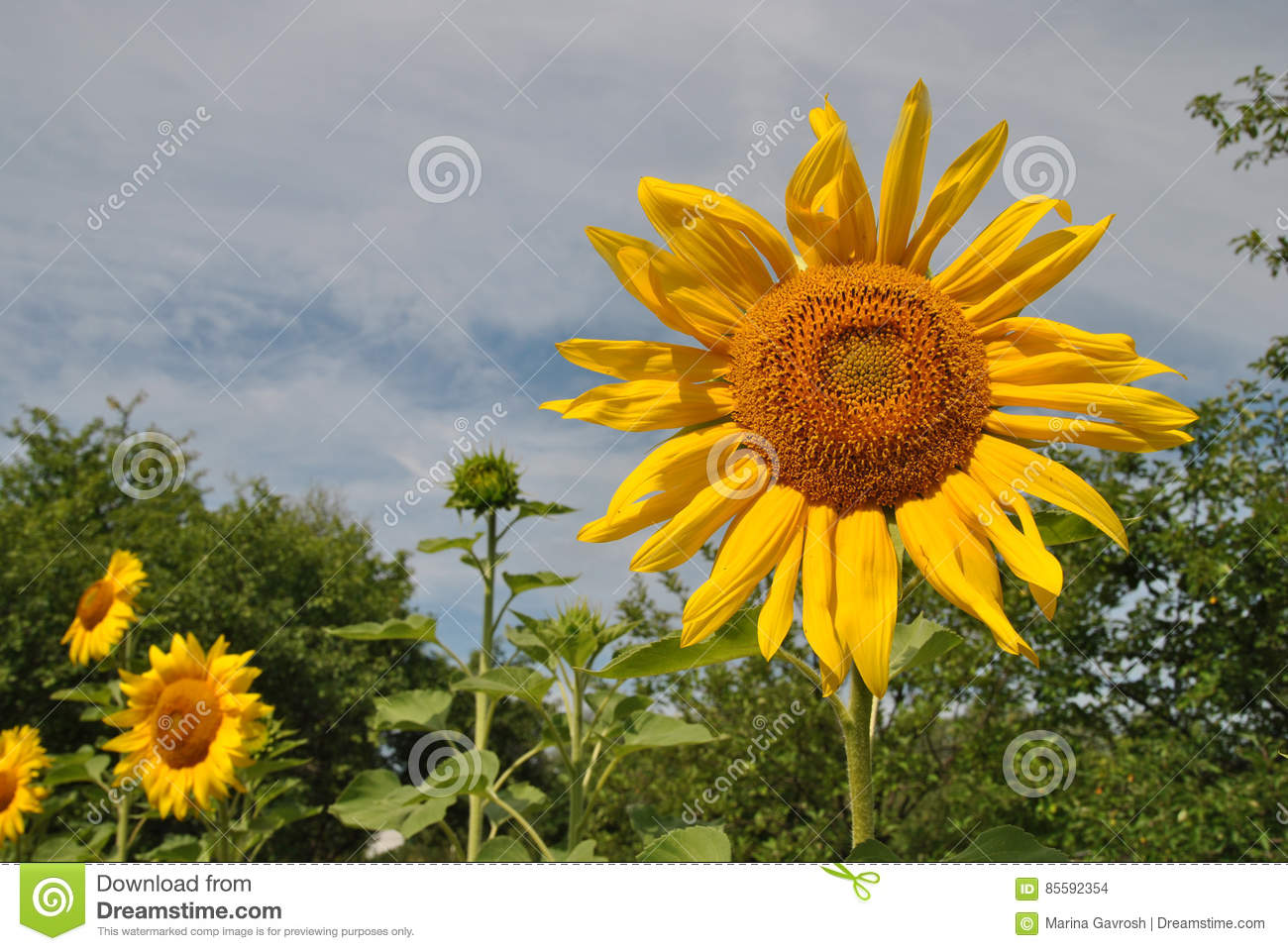 Cheerful Sunflower A Symbol Of Joy Happiness And Fun Olorful