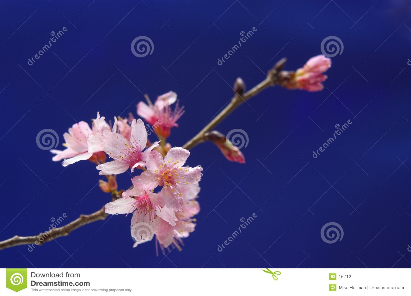 Cheery blomning