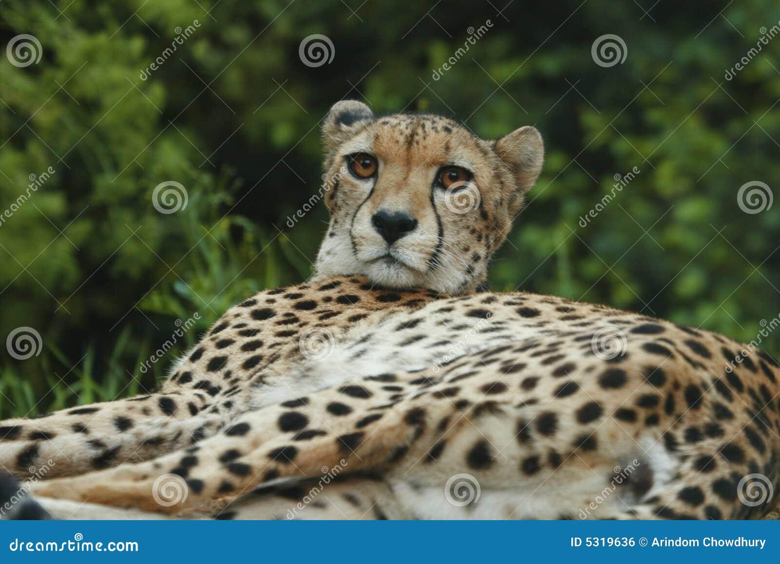 Download Cheeta fotografia stock. Immagine di rabbia, calma, pericoloso - 5319636
