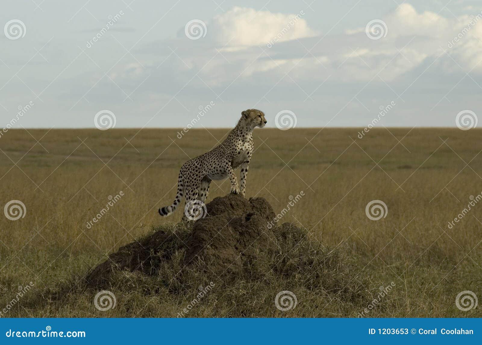 Cheetah on an Ant Hill