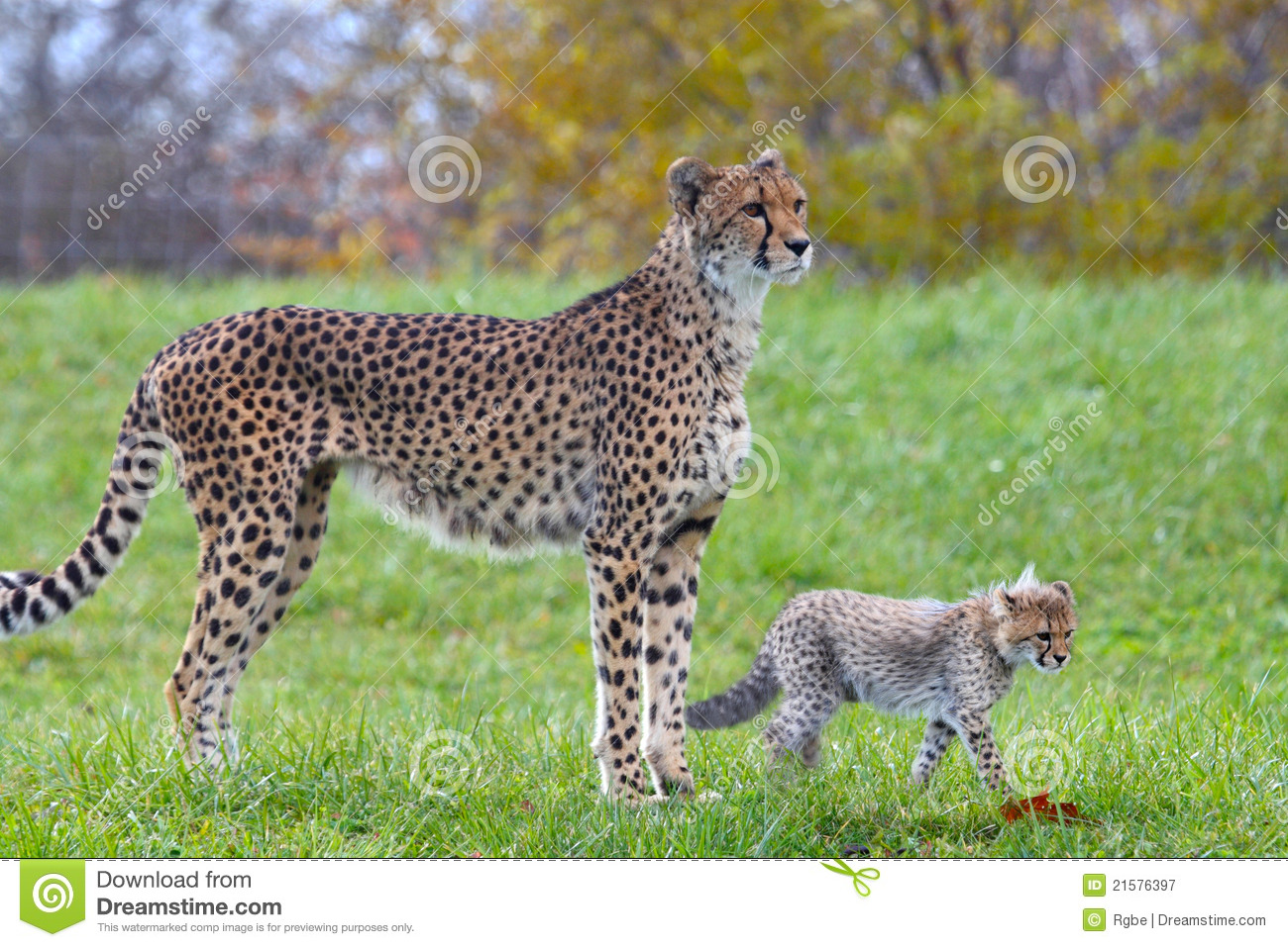 Cheetah Baby And Its Mother Royalty Free Stock Photography - Image ...