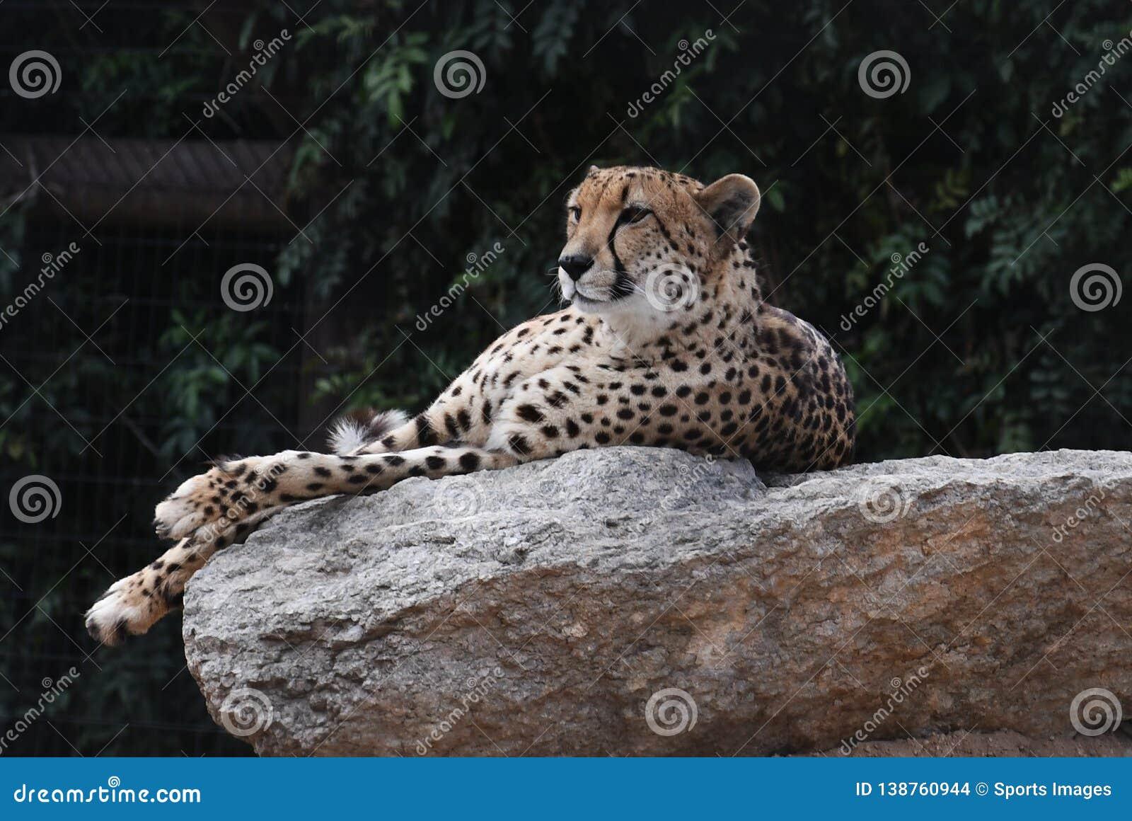 Cheetah yawn stock photo. Image of fast, ecosystem, yawn ... |Iranian Cheetah Vector
