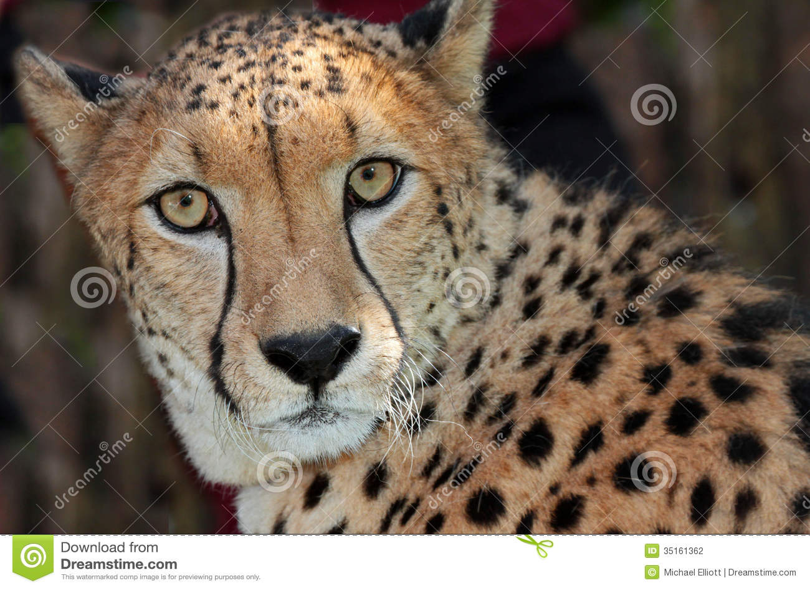 Brown Eye Close Up Cheetah Stock Photogra...