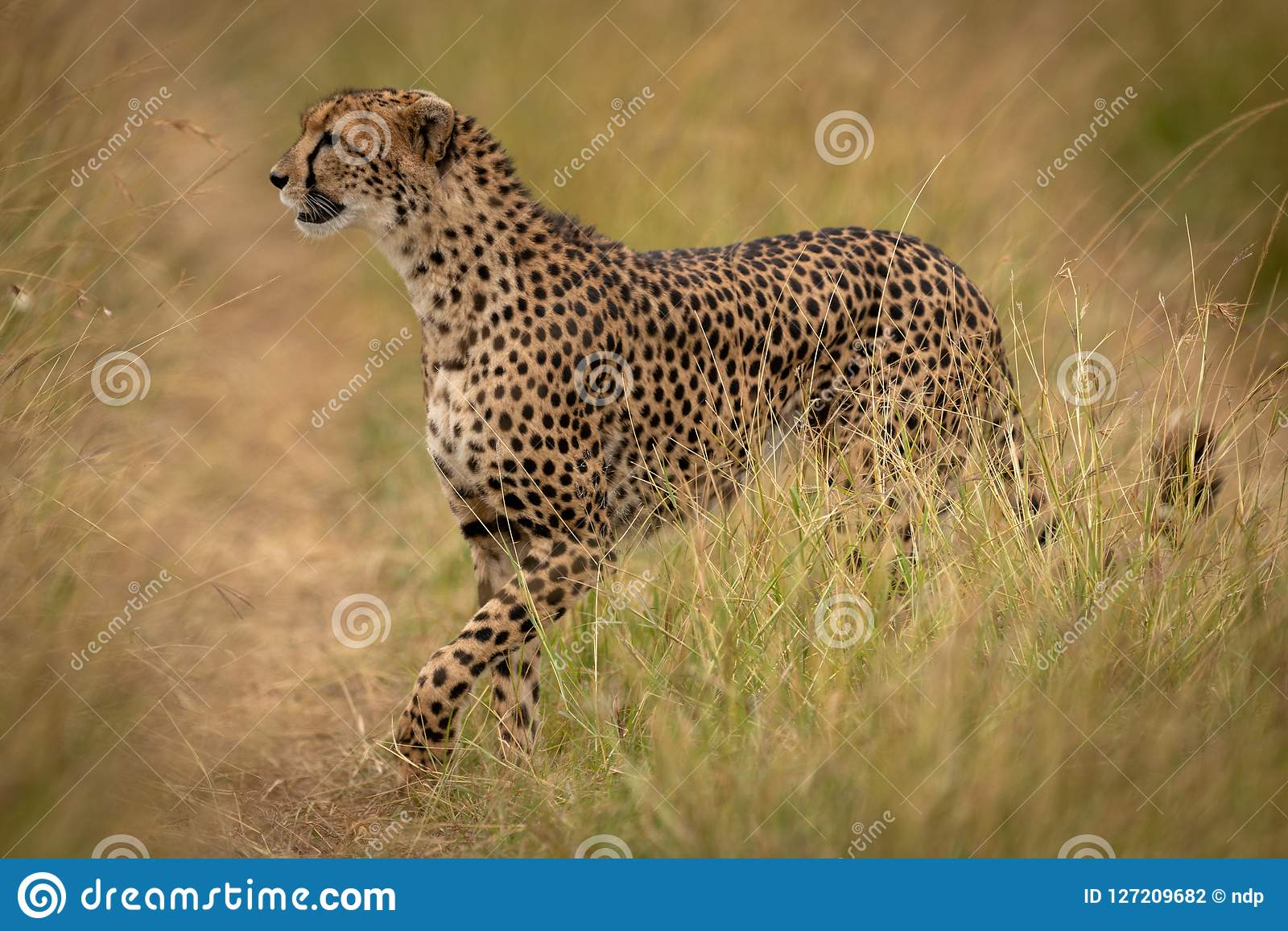 Cheetah crosses path through grass on savannah