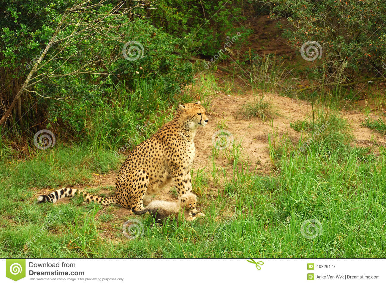 Cheetah cub with mom