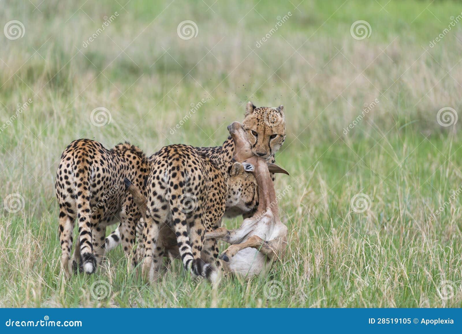 Cheetah hunting deer videos free download.