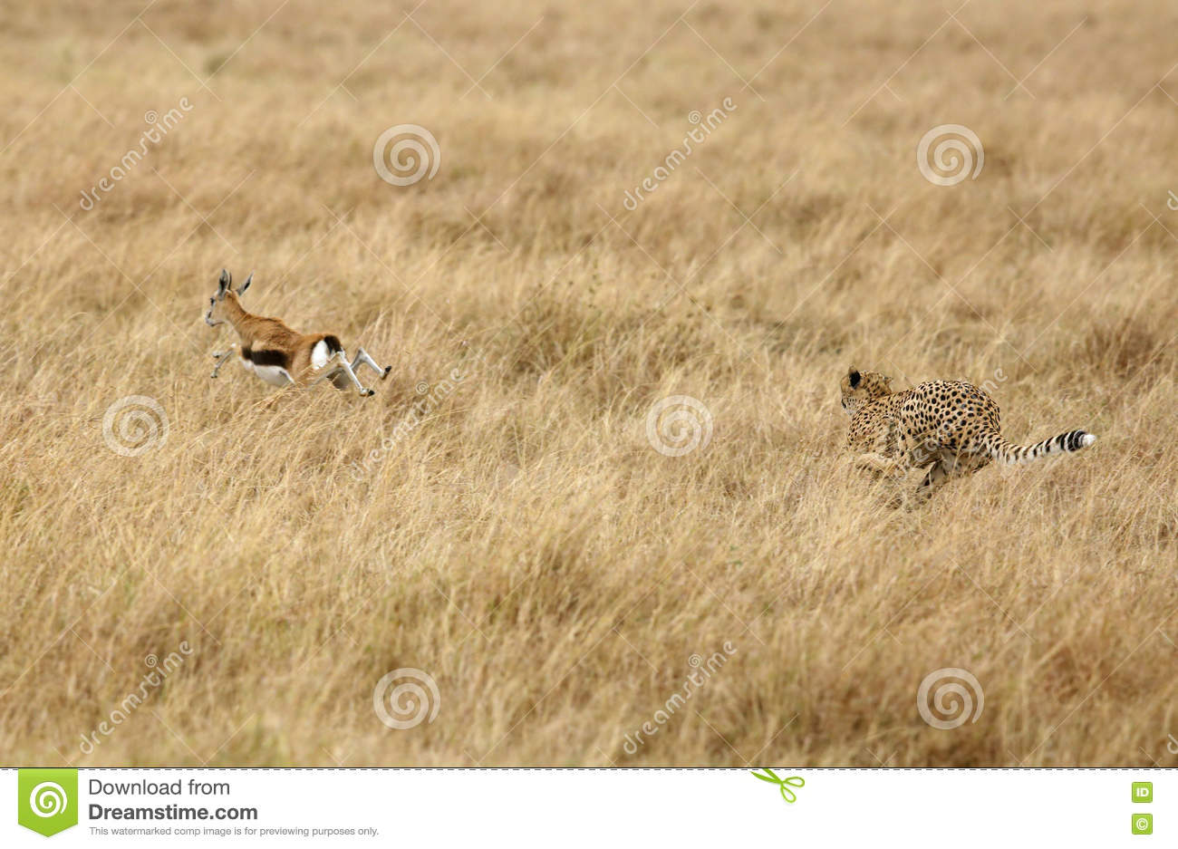 500+ cheetah pictures [hd] | download free images on unsplash.