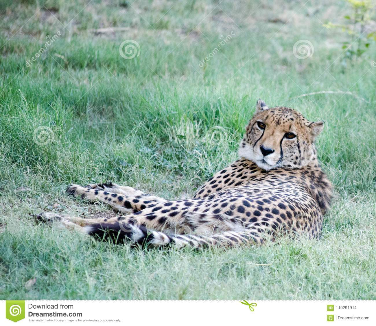 Cheetah Laying In The Grass In South Africa Stock Photo