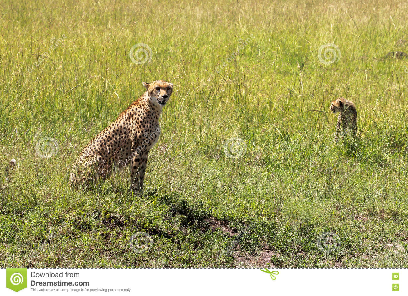 Cheetah in Maasai Mara, Kenya