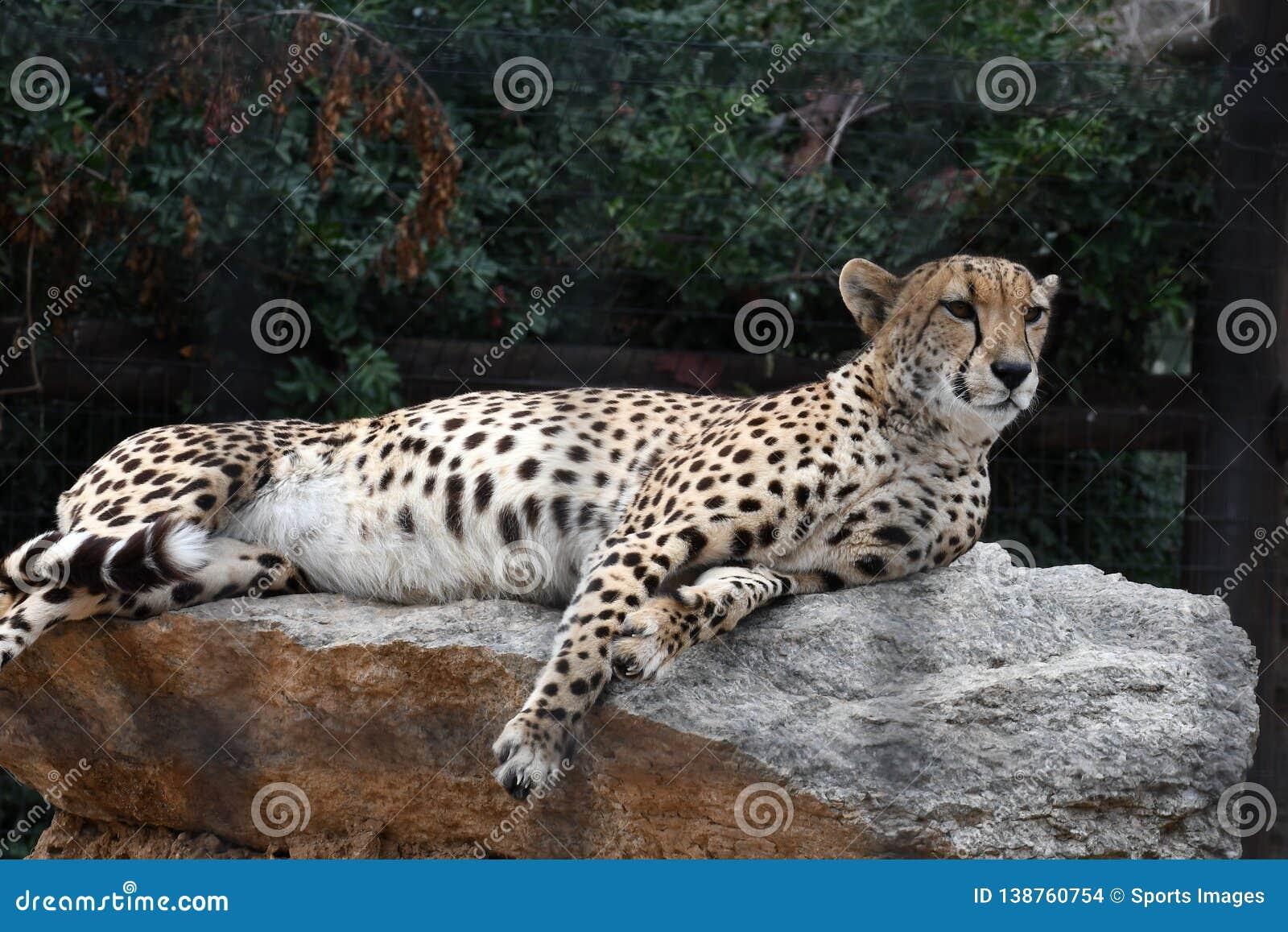 Simple Iran Flag Vector Illustration Stock Illustration ... |Iranian Cheetah Vector