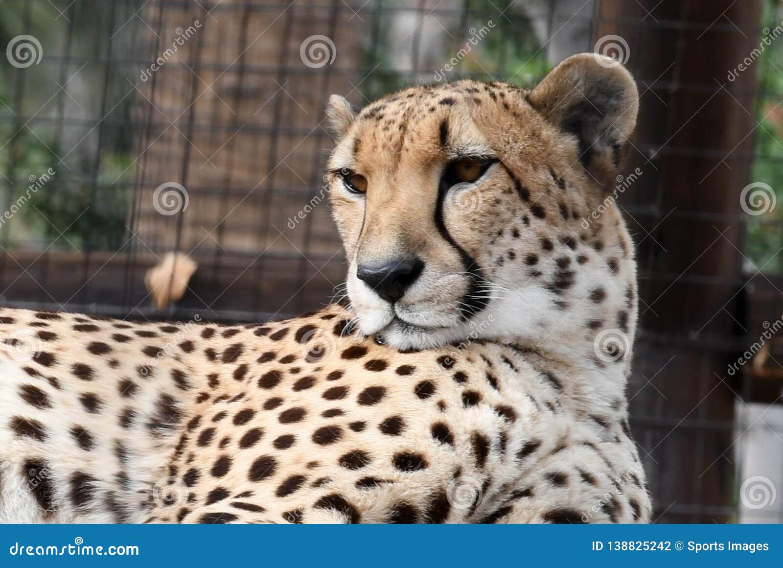 Ornamental hand drawn tiger Vector | Free Download |Iranian Cheetah Vector