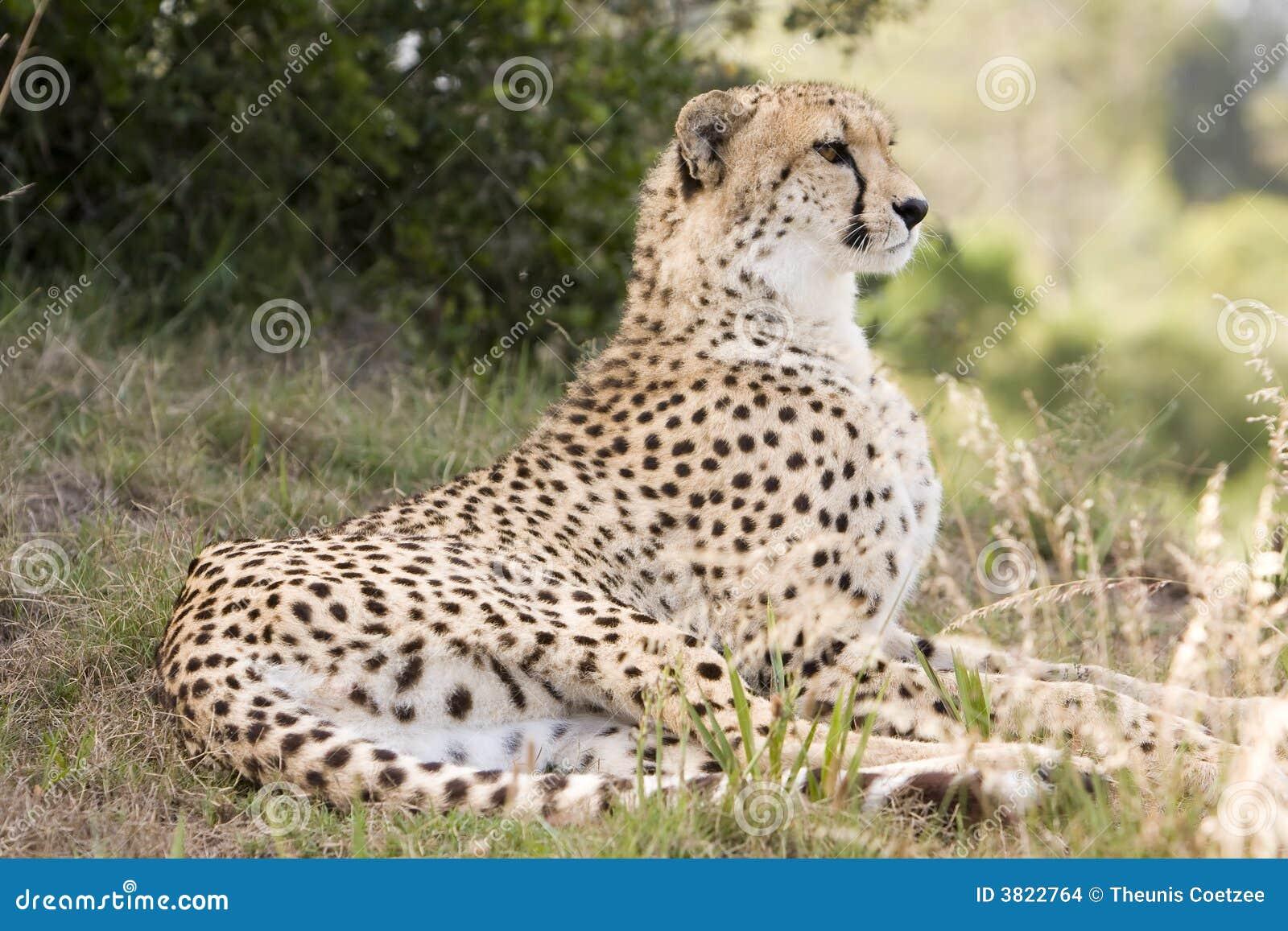 Cheetah sitting down drawing - photo#6