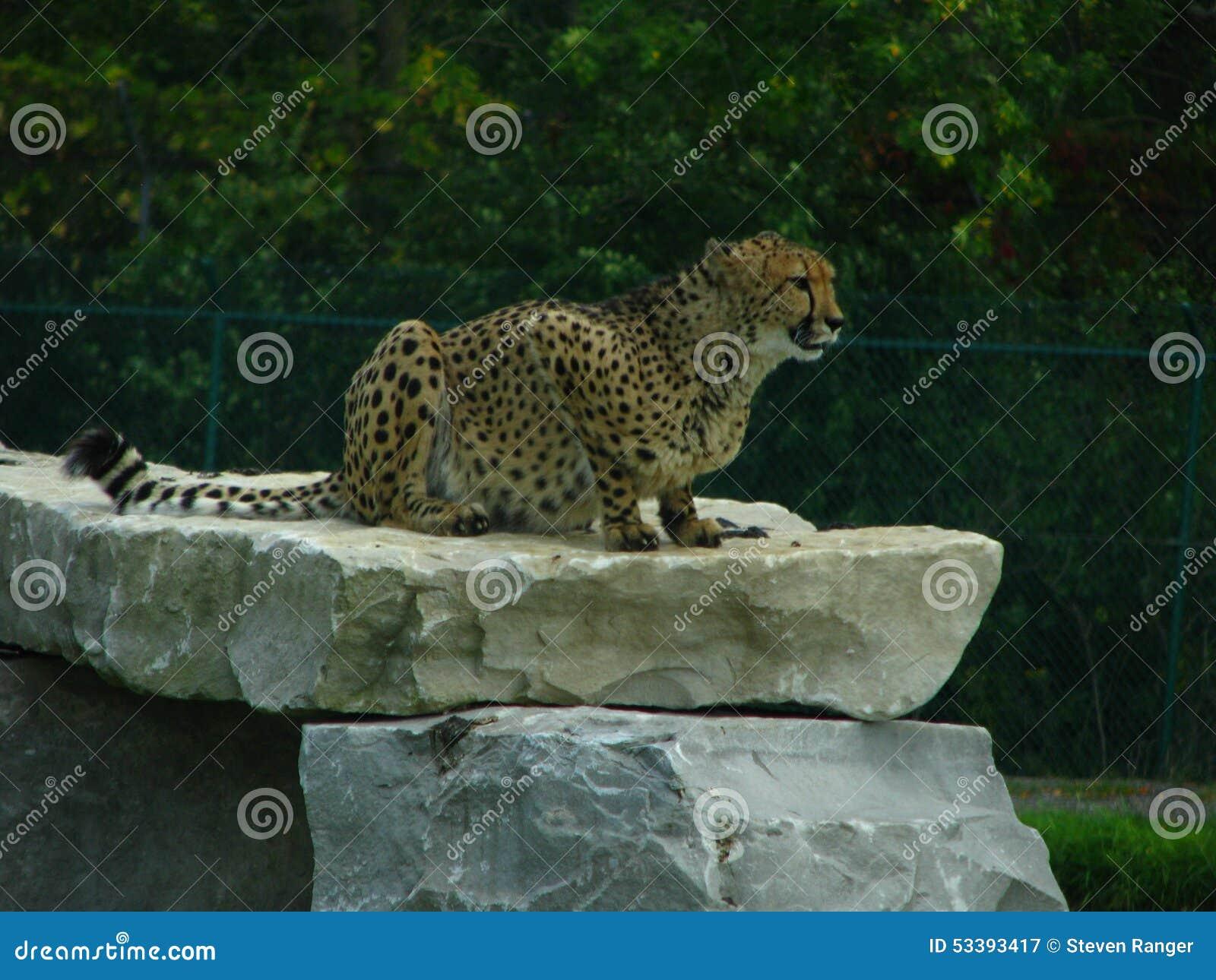 Cheetah sitting on a rock ledge