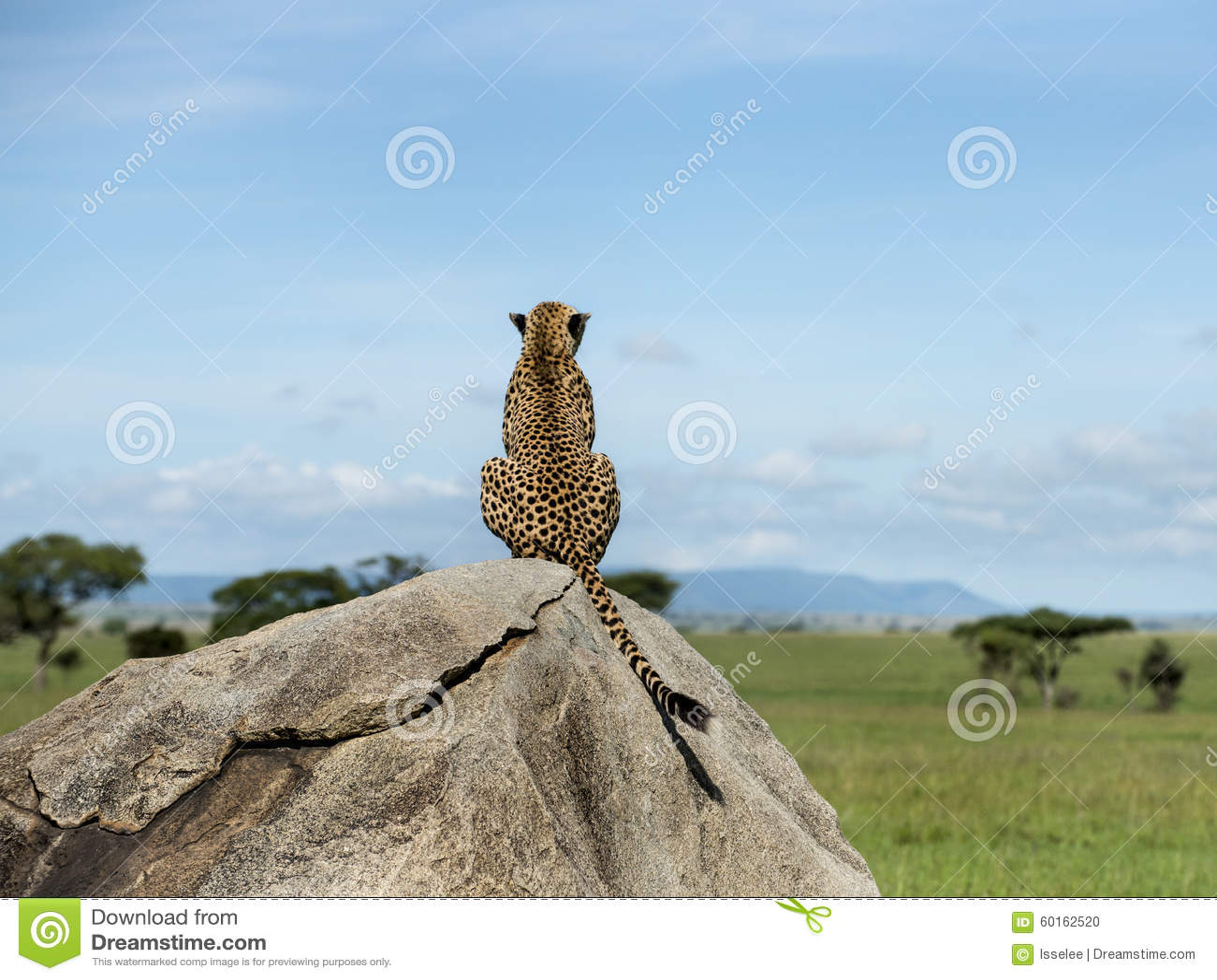 Cheetah sitting on a rock and looking away, Serengeti