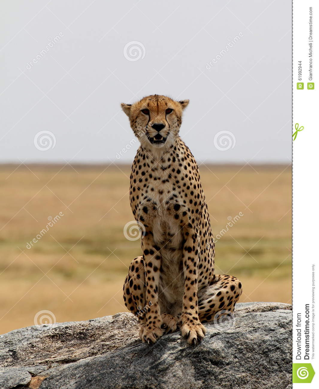 Cheetah sitting on a rock