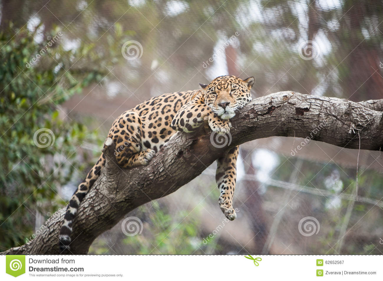 cheetah sleeping on the tree in zoo stock image image of fast