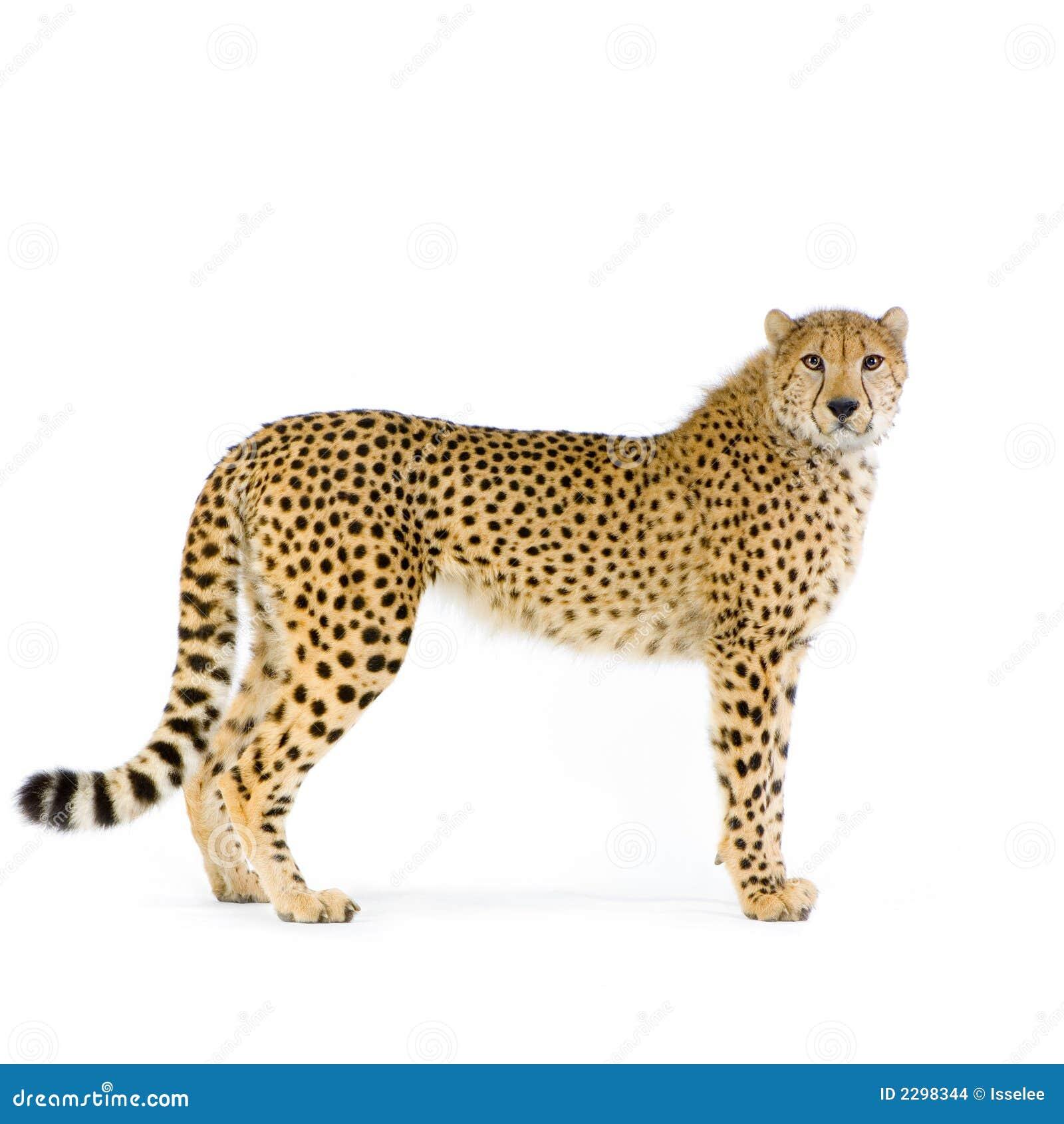 Cheetah som plattforer upp