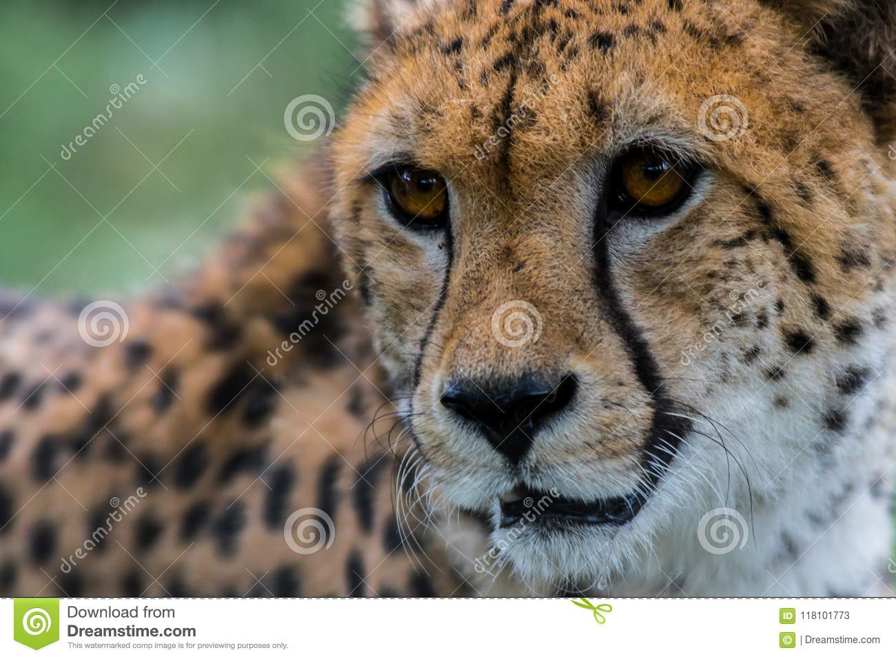 A cheetah stares at something out of shot.