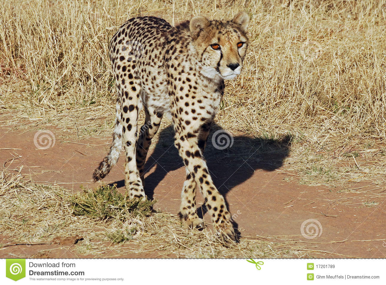 Cheetah walking across the road , Acinonyx juba
