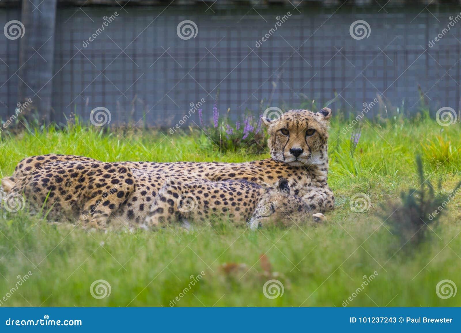 Cheetah At West Midlands Safari Park Zoo Stock Image - Image