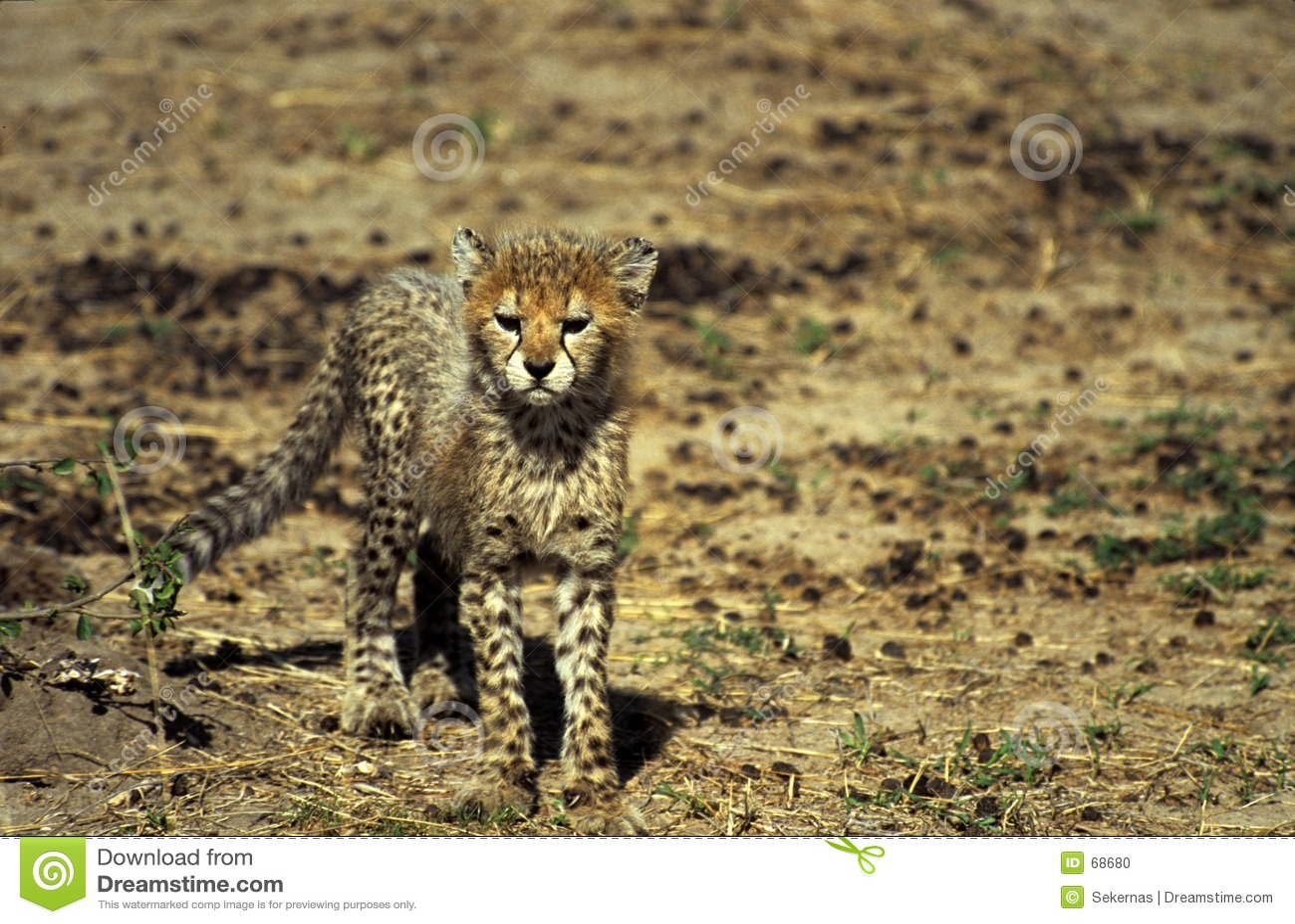 Cheetahgröngöling