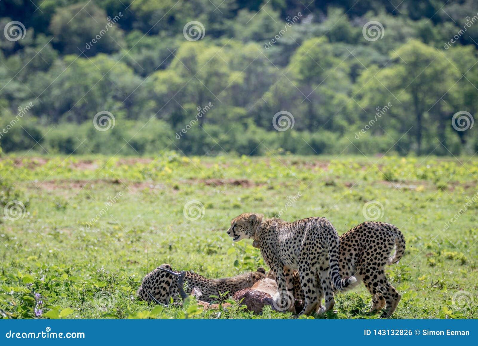 Cheetahs feeding on a male Impala kill